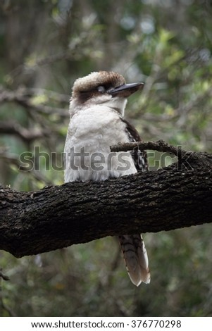 kookaburra sit on the tree - stock photo
