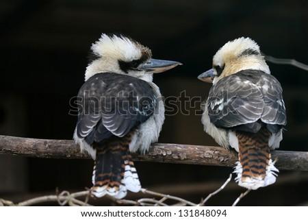 Koorakburra - stock photo