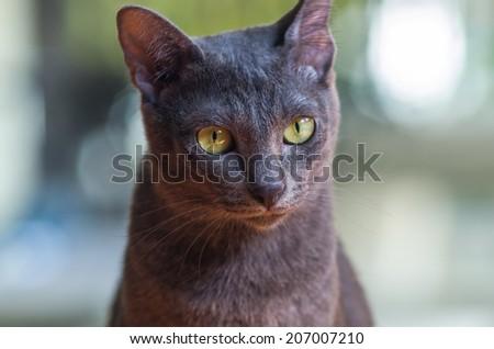 korat cat  - stock photo