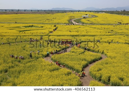 KOREA - APRIL 15, 2016: Rape Flower Festival, Daejeo Ecological Park , Busan, Korea