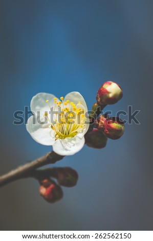 Korean single Cherry blossom flower and with a few buds in a blue background