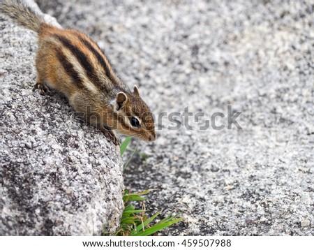 Korean squirrel on a stone - stock photo