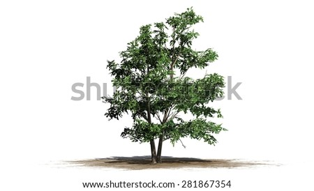 Korean Stewartia tree - separated on white background