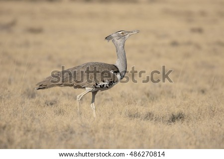 Kori bustard, Ardeotis kori. single bird, South Africa, August 2016