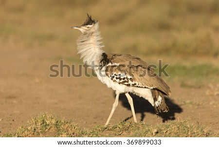 Kori Bustard showing display behaviour, Serengeti National Park, Tanzania