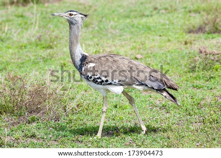 Kori Bustard walking in short grass. Shallow doff.