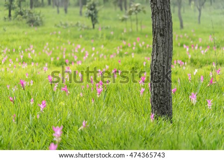Krajeaw flowers field or Thai Tulip field at Sai thong national park, Thailand