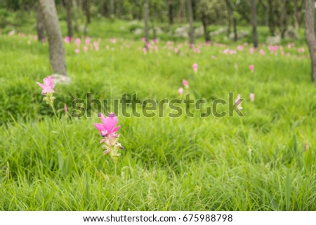 Krajeaw flowers in the meadow at Thep Sathid Chaiyaphum Province