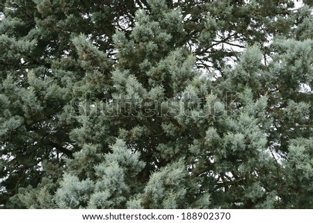 krone of a coniferous tree - stock photo
