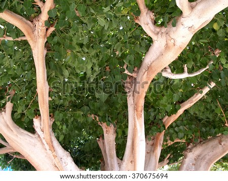 Fig Tree Fruit Stock Photos, Royalty-Free Images & Vectors ...