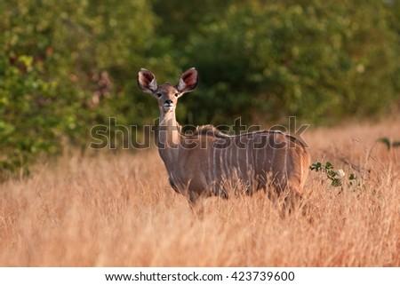 Kruger - greater kudu - tragelaphus strepsiceros - South africa - stock photo