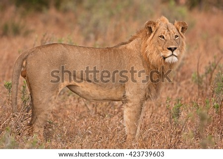 Kruger - lion - panthera leo - South africa