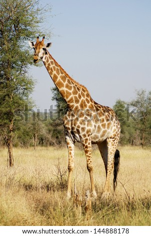 Kruger park South Africa: The giraffe (Giraffa camelopardalis) is an African even-toed ungulate mammal, the tallest of all extant land-living animal species, and the largest ruminant. - stock photo
