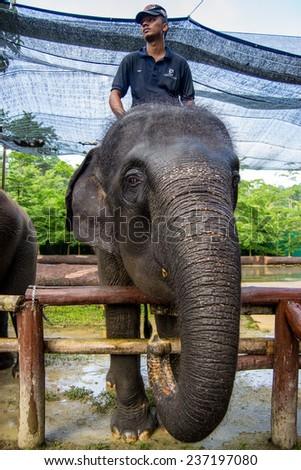 KUALA GANDAH, MALAYSIA - JANUARY 2, 2014: An eating elephant with a rider at Kuala Gandah Elephant Conservation Centre - stock photo