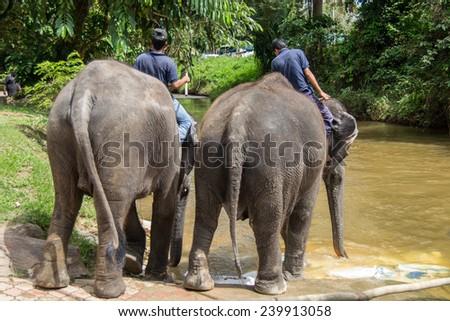 KUALA GANDAH, MALAYSIA - JANUARY 2, 2014: Staff of Kuala Gandah Elephant Conservation Centre are riding two elephants into a river for washing - stock photo