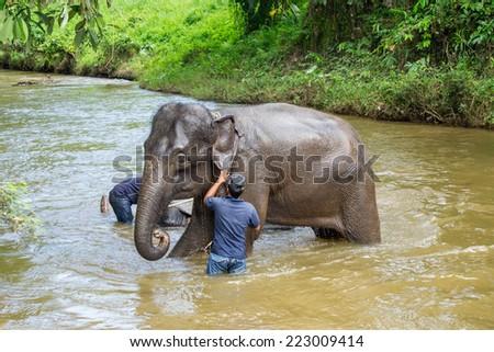 KUALA GANDAH, MALAYSIA - JANUARY 2: Staff of Kuala Gandah Elephant Conservation Centre washing a young elephant in a river - stock photo