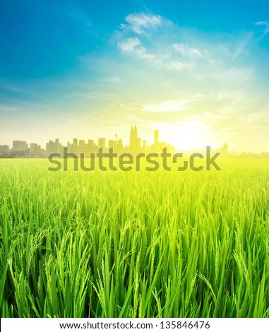 Kuala Lumpur is the capital city of Malaysia, landscape view over rice field plantation farming in morning sunrise