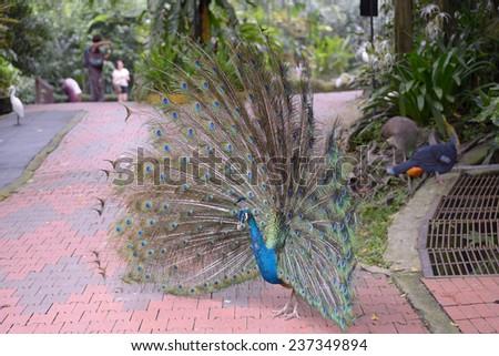 Kuala Lumpur, Malaysia - November 2, 2014: Indian blue Peafowl on the track of Bird Park in Kuala Lumpur - stock photo