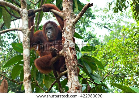 Kuching, Borneo. Sepilok Orang Utan Rehabilitation Centre - SEP 6, 2015: Orangutan thoughtfully hung on the tree - stock photo