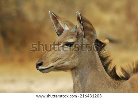 Kudu Antelope - African Wildlife Background - Elegance through Innocence and Color