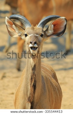 Kudu Antelope - African Wildlife Background - Laughing Nature