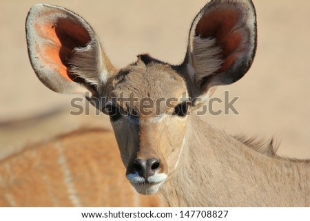 Kudu Antelope - Wildlife from Namibia, Africa - A fantastic shot of coloration and super large ears that pick up the slightest of noise (and potential danger).