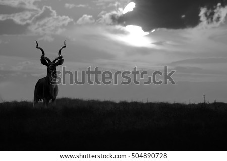 Kudu Bull - African Wildlife Background - Proudest of them all