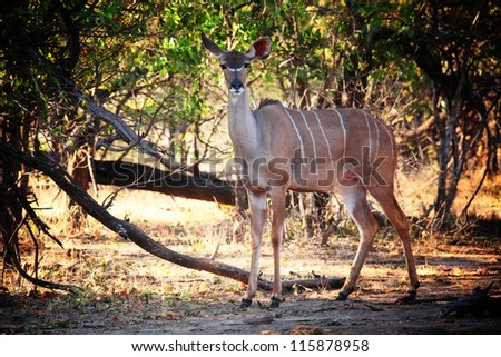 kudu in luangwa national park zambia - stock photo