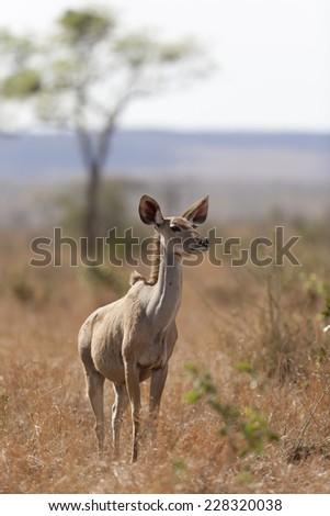 Kudu in the wild - stock photo