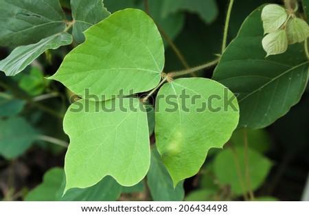 Kudzu vine ivy grouth in southern usa Georgia - stock photo