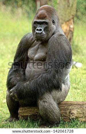 Kumbuka the Male Silverback Gorilla posing sitting on a log looking directly ahead - stock photo