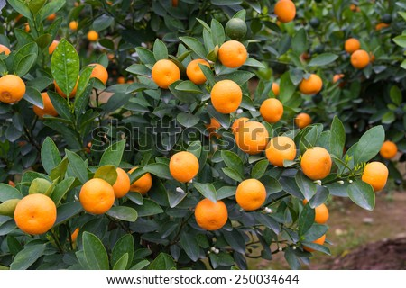 "Kumquat, the symbol of Vietnamese lunar new year. In nearly every household, crucial purchases for Tet include the peach  ""hoa dao"" and kumquat plants"