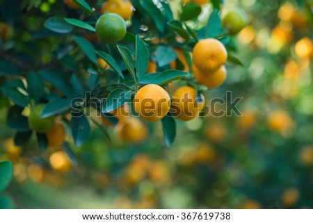 "Kumquat, the symbol of Vietnamese lunar new year. In nearly every household, crucial purchases for Tet include the peach ""hoa dao"" and kumquat plant"