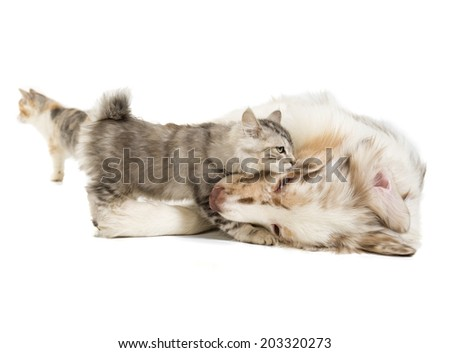 Kuril Bobtail and Australian Shepherd