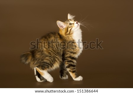 Kuril Bobtail Cat on a brown background - stock photo