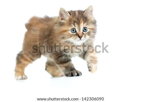 Kuril bobtail kitten stealing or sneaking - stock photo