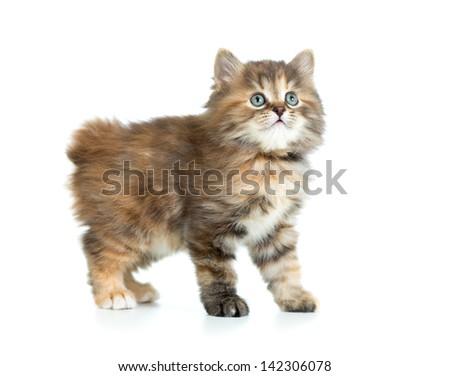 Kuril bobtail tortoiseshell coat coloring kitten looking up - stock photo
