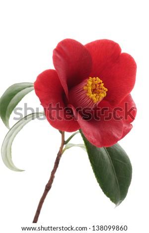 Kurostubaki, black red camellia isolated on white background - stock photo