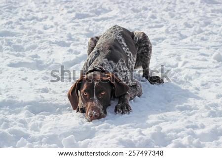 kurtshaar lying in the snow - stock photo