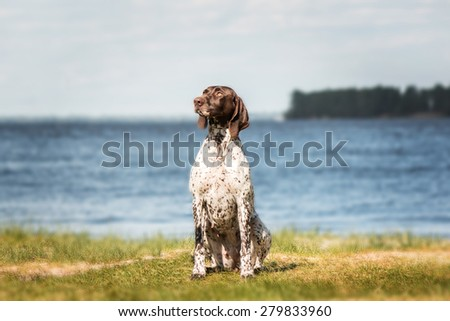 Kurzhaar (German Shorthaired Pointer, German Pointer) sitting on a background of grass and pond  - stock photo