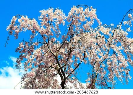 Kyoto, Japan - April 12, 2013: Sakura season in Kyoto, Japan for adv or others purpose use - stock photo