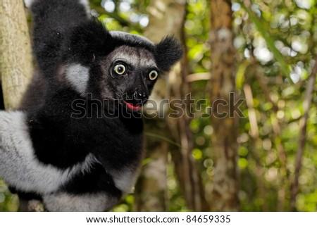 Lémurien Indri Indri tirant la langue. - stock photo