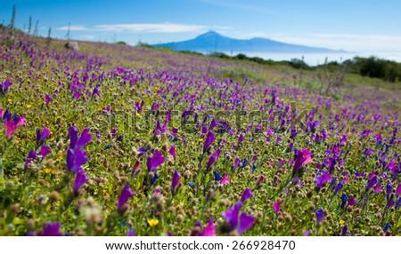 La Gomera, flowering mountain meadows, Teide on Tenerife in the far distance - stock photo