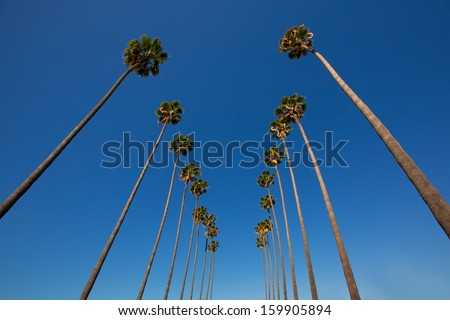 LA Los Angeles palm trees in a row typical California Washingtonia filifera - stock photo