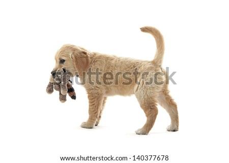 Lab puppy on white - stock photo