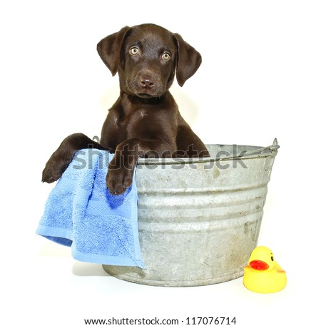 Lab puppy sitting in a bath tub with a rubber ducky, on a white background.