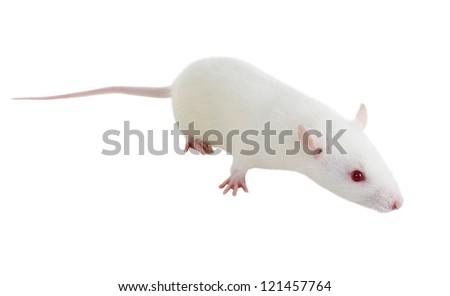 Laboratory white rat Strain Sprague Dawley - stock photo
