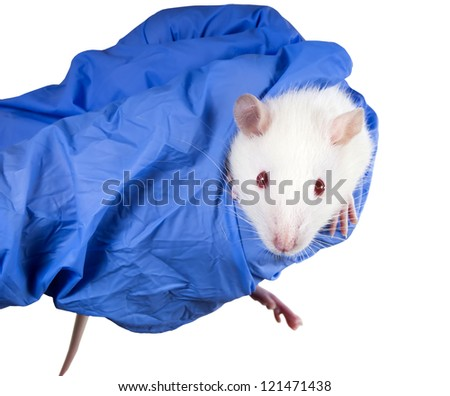 Laboratory white rat strain Sprague Dawley rats in the hands of the scientist - stock photo