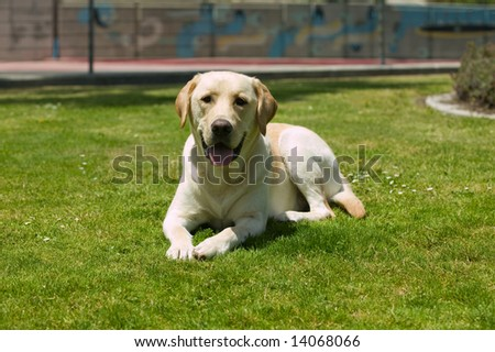 Labrado dog laying on the grass in a park