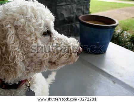 Labradoodle dog - stock photo